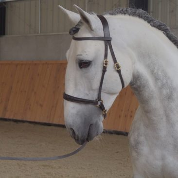 DUBAI Etalon psl, orientation dressage, spectacle. Annonce cheval à vendre.
