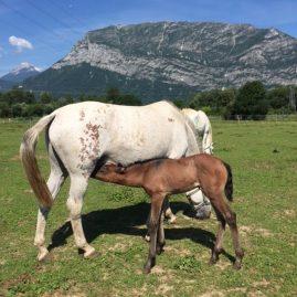 élevage chevaux lusitaniens pouliche Neptuna