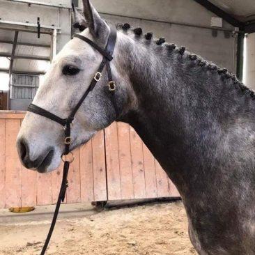 élevage chevaux lusitanien étalon psl 3 ans