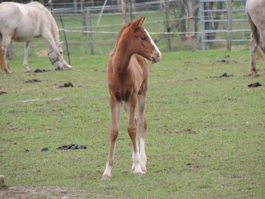 élevage chevaux lusitaniens 2018 alezan 2