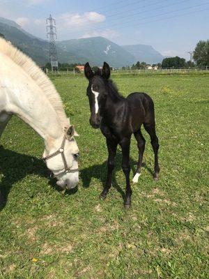 Elevage de chevaux lusitaniens de couleur.