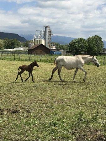 chevaux a vendre, psl, lusitaniens