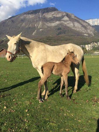 chevaux à vendre, lusitaniens, 2019