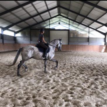 chevaux lusitanien à vendre, hongre Lorenz